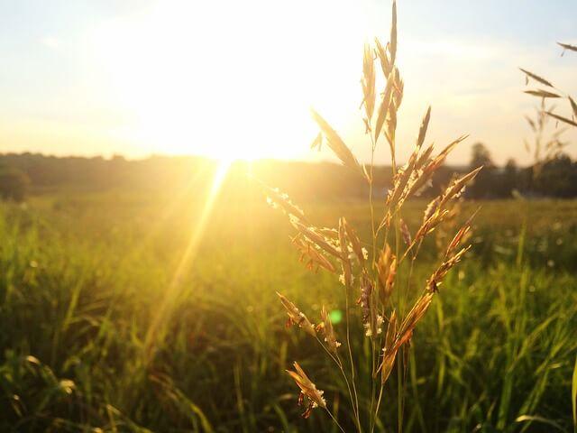 uczulające trawy