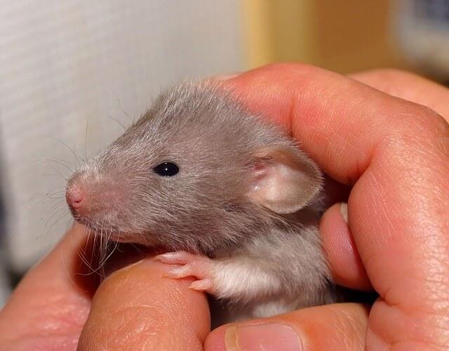 Młody szczurek w dłoni opiekuna