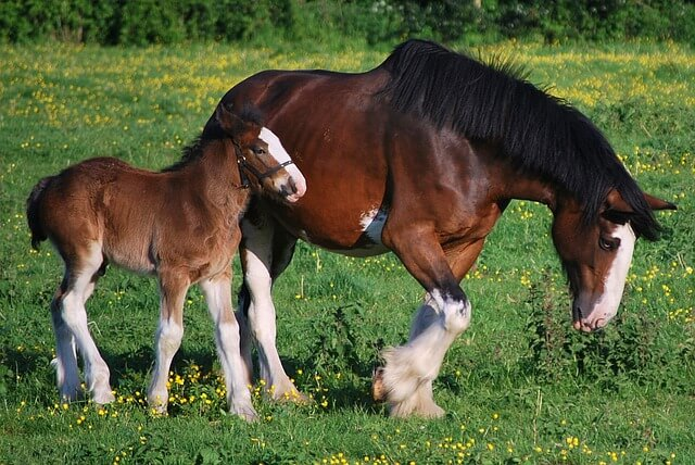 dorosły koń i źrebak