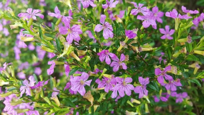 zioło czystek fioletowy