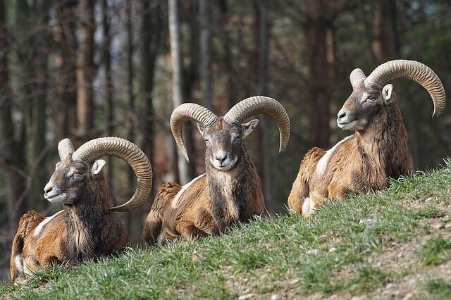 trzy muflony w lesie